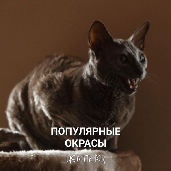 Популярные окрасы египетских кошек