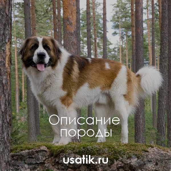 Московская сторожевая - описание породы