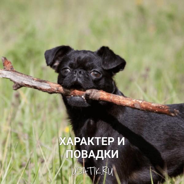 Характер и повадки пти-брабансонов