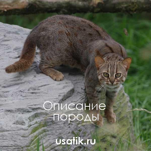 Ржавая кошка - описание породы