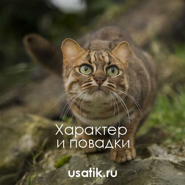Характер и повадки ржавых кошек