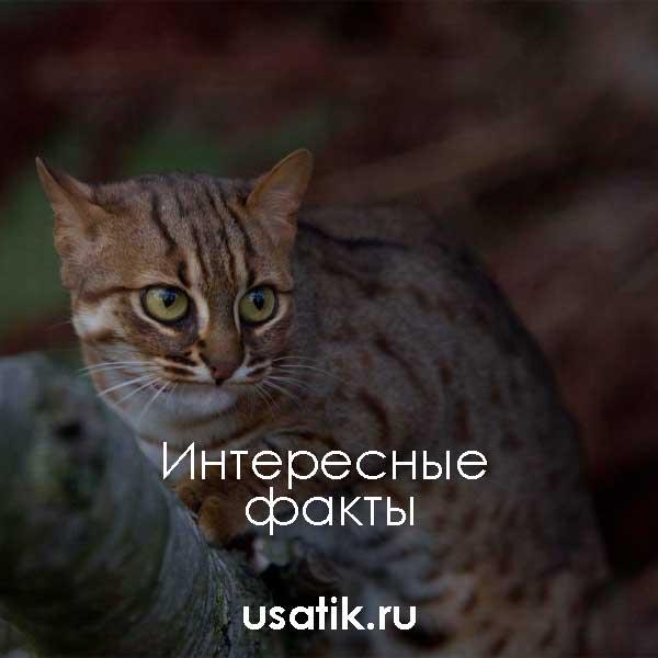 Интересные факты о ржавых кошках