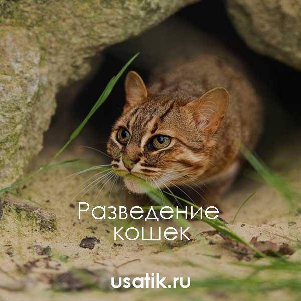 Разведение ржавых кошек