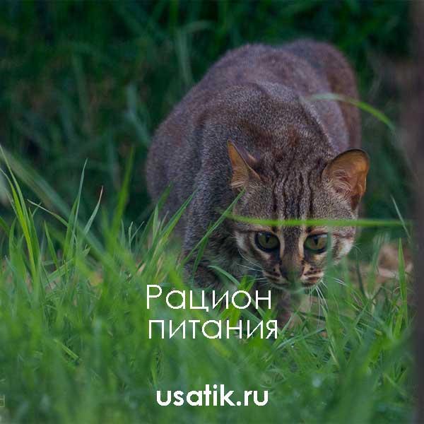 Рацион питания ржавых кошек