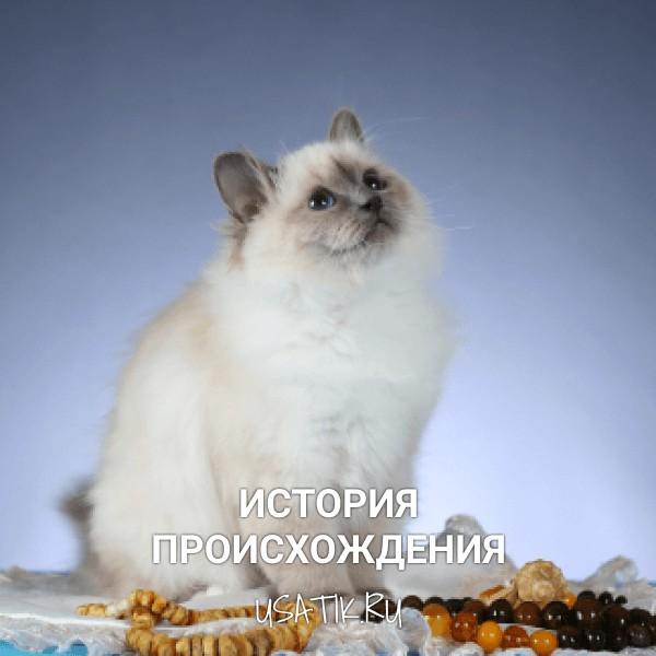 История происхождения бирманских кошек