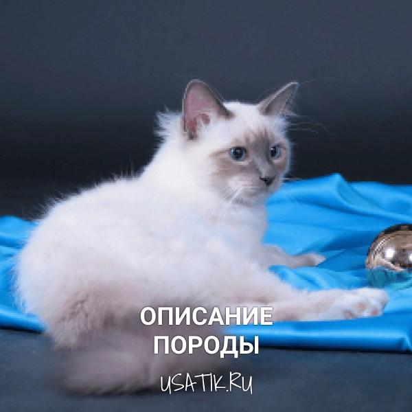 Бирманская кошка - описание породы