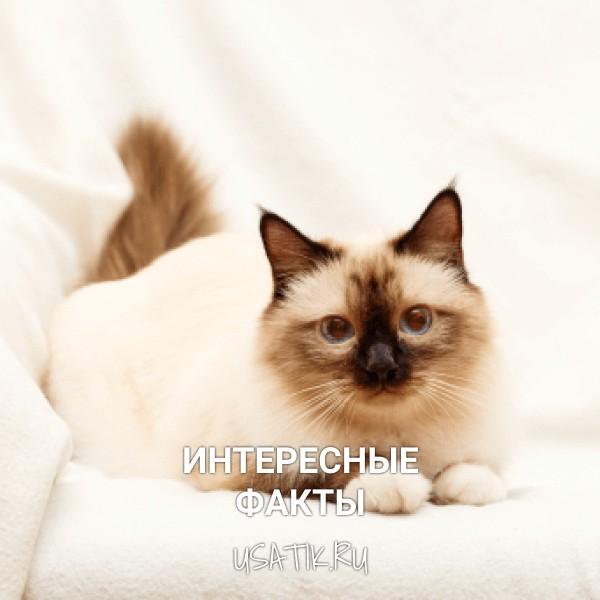 Интересные факты о бирманских кошках