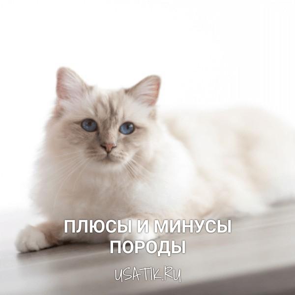 Плюсы и минусы бирманских кошек