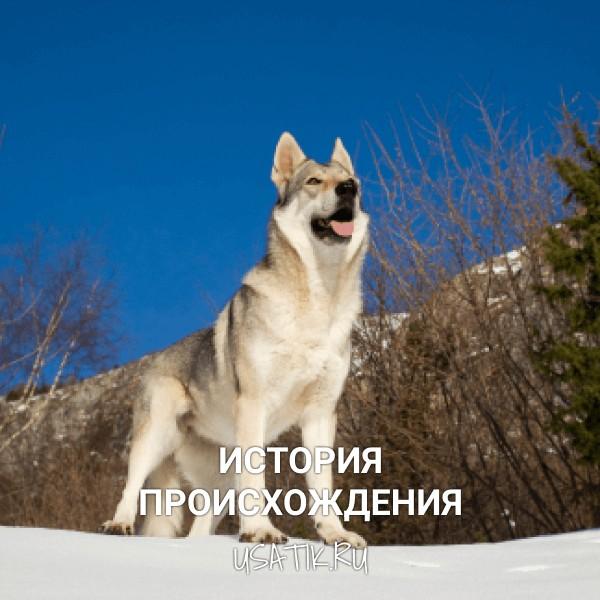 История происхождения чехословацких волчьих собак