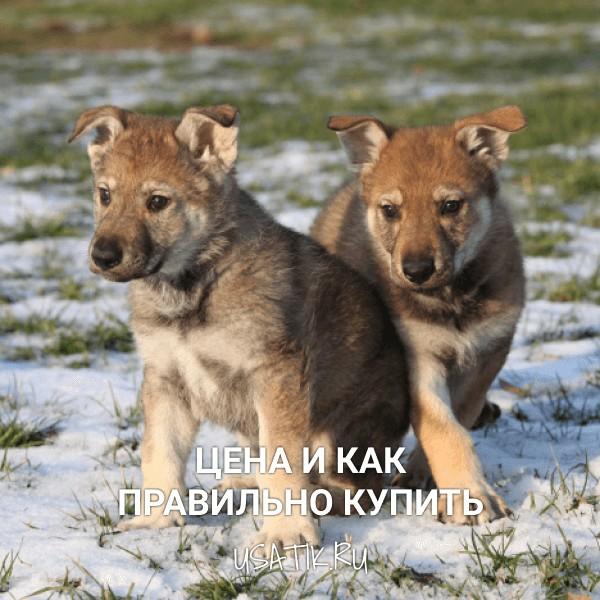 Чехословацкая волчья собака - цена и как правильно купить