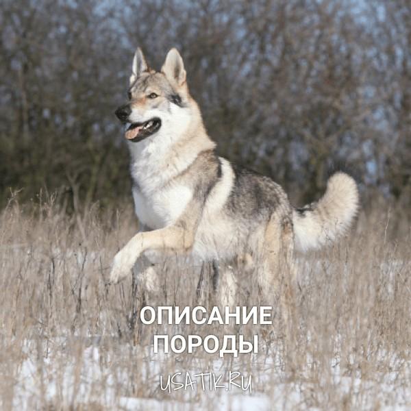 Чехословацкая волчья собака - описание породы