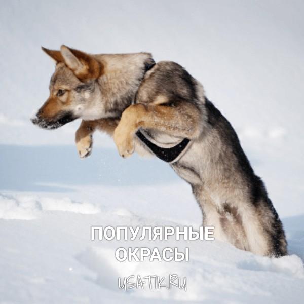 Популярные окрасы чехословацких волчьих собак