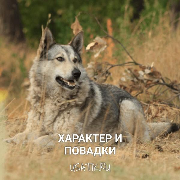Характер и повадки чехословацких волчьих собак