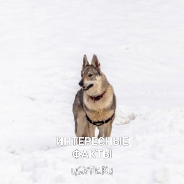 Интересные факты о чехословацких волчьих собаках