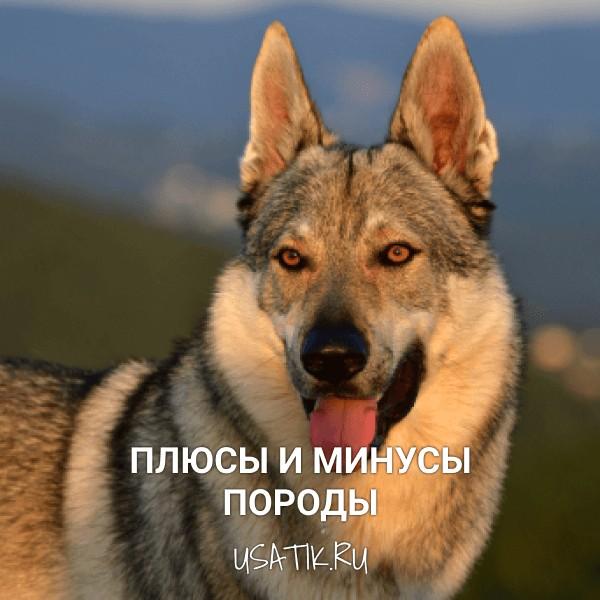 Плюсы и минусы чехословацких волчьих собак
