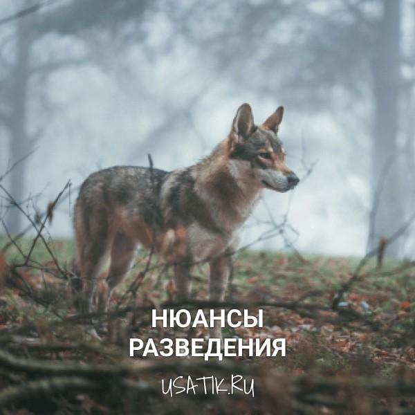 Разведение чехословацких волчьих собак