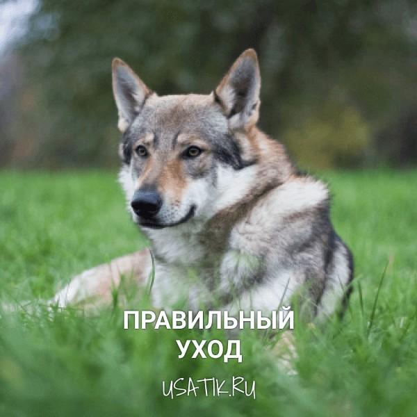 Уход за чехословацкими волчьими собаками