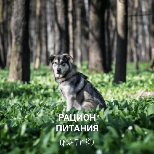 Рацион питания чехословацких волчьих собак