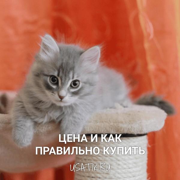 Сибирская кошка - цена и как правильно купить