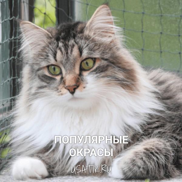 Популярные окрасы сибирских кошек