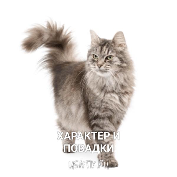 Характер и повадки сибирских кошек