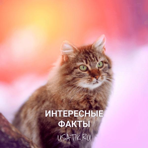 Интересные факты о сибирских кошках