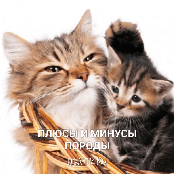 Плюсы и минусы сибирских кошек