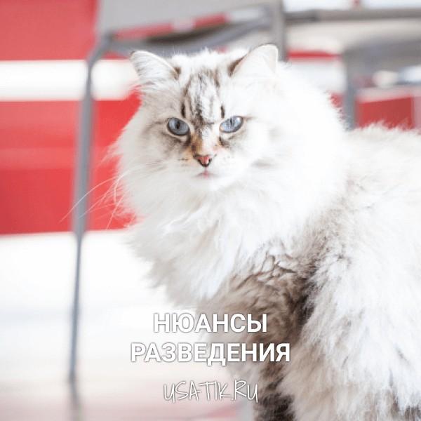 Разведение сибирских кошек