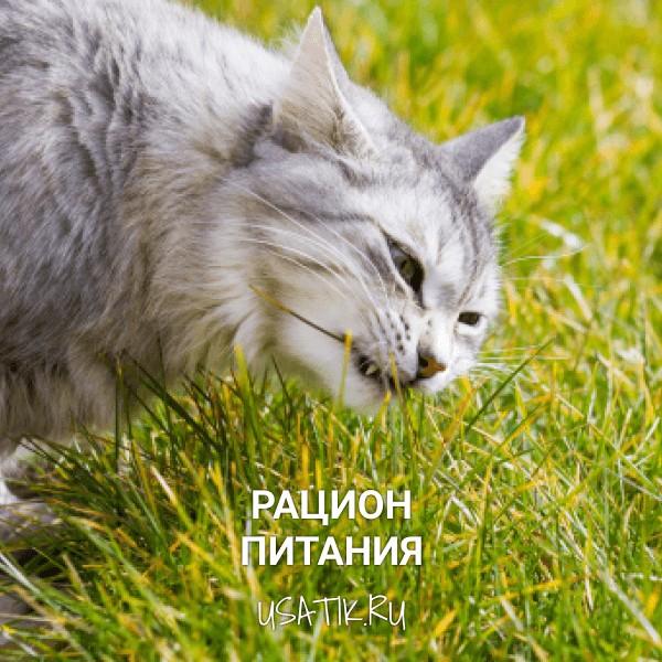Рацион питания сибирских кошек