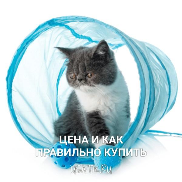 Экзотическая кошка - цена и как правильно купить