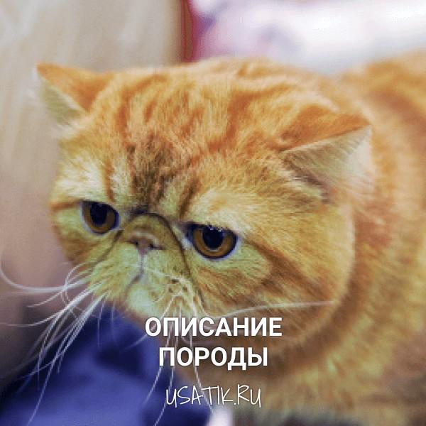 Экзотическая кошка - описание породы