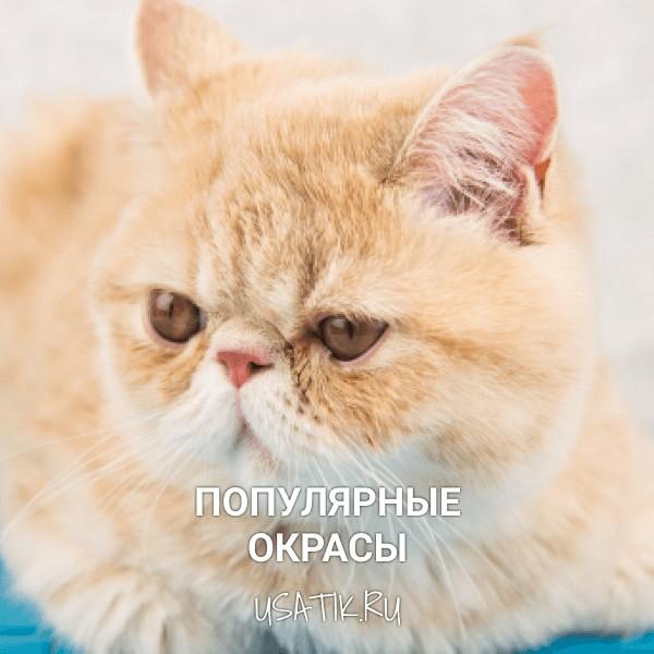Популярные окрасы экзотических кошек