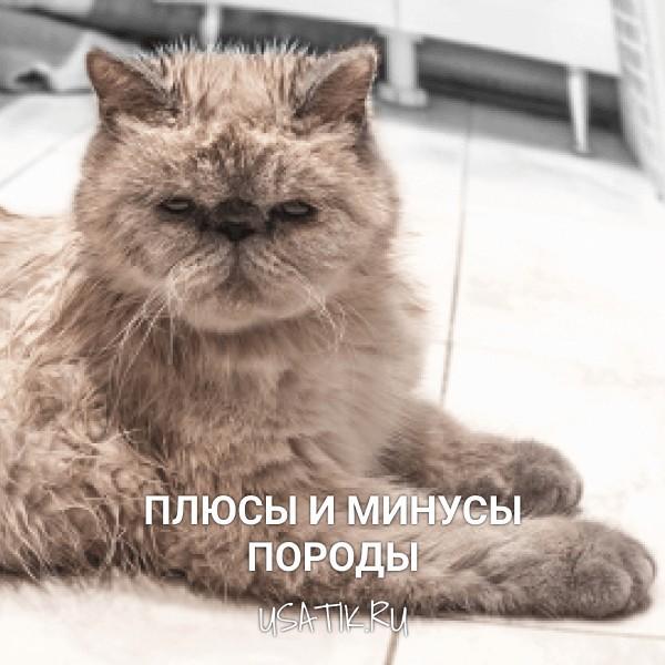 Плюсы и минусы экзотических кошек
