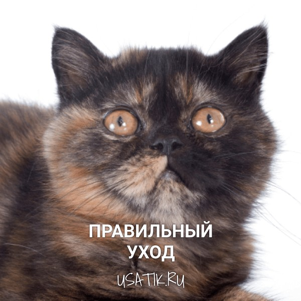 Уход за экзотическими кошками