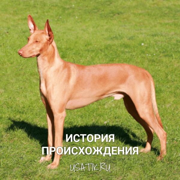 История происхождения фараоновых собак