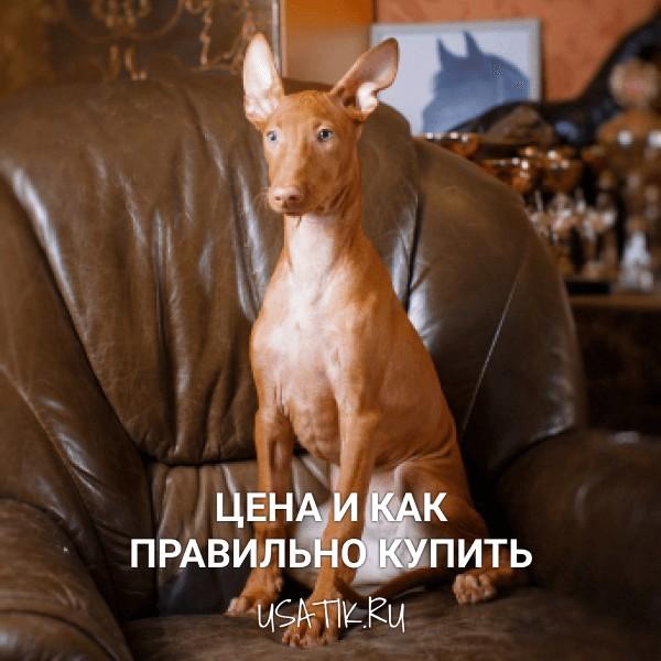 Фараонова собака - цена и как правильно купить