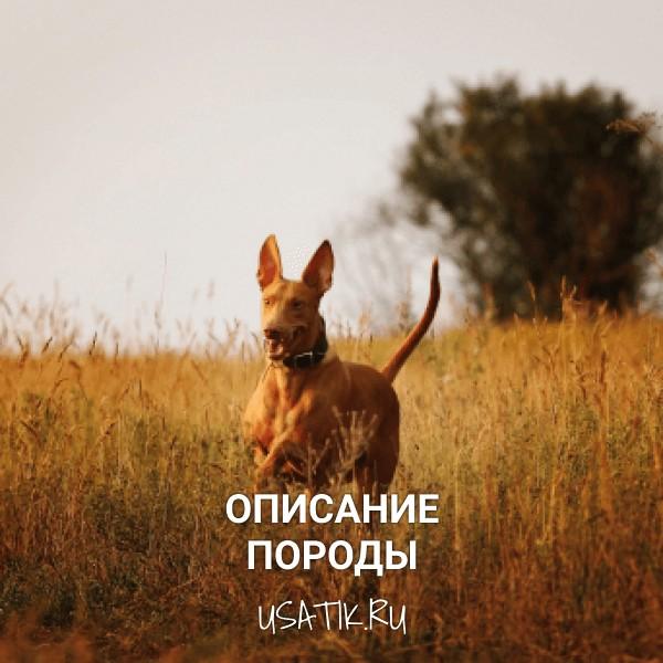 Фараонова собака - описание породы