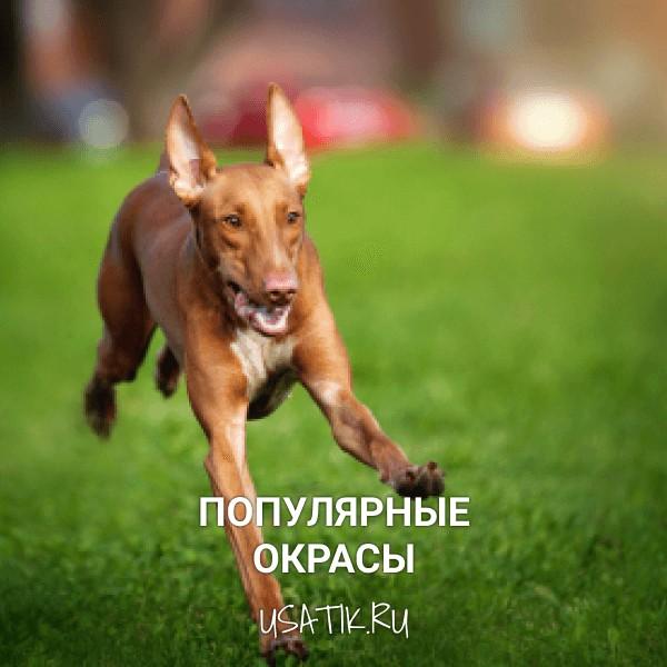 Популярные окрасы фараоновых собак