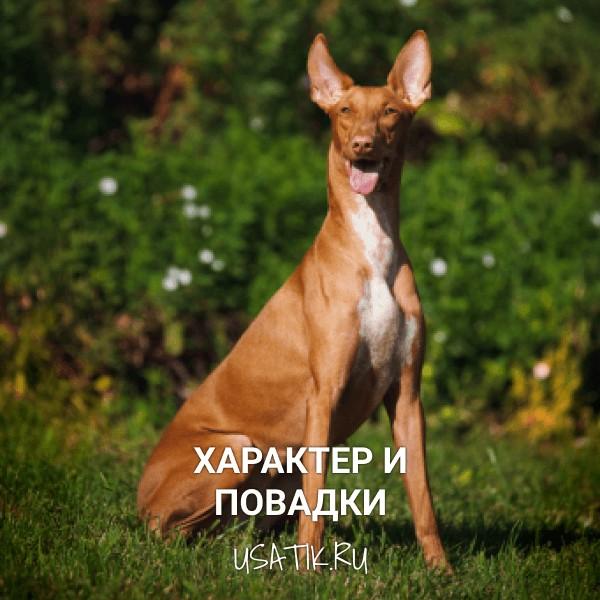 Характер и повадки фараоновых собак