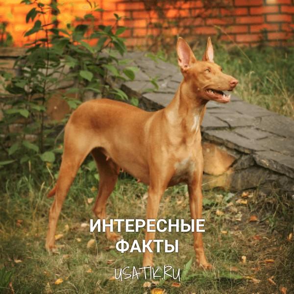 Интересные факты о фараоновых собаках