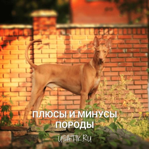 Плюсы и минусы фараоновых собак