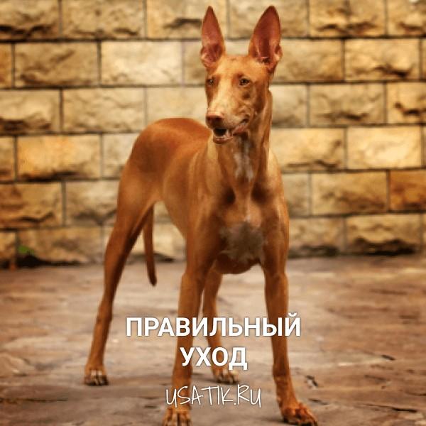Уход за фараоновыми собаками