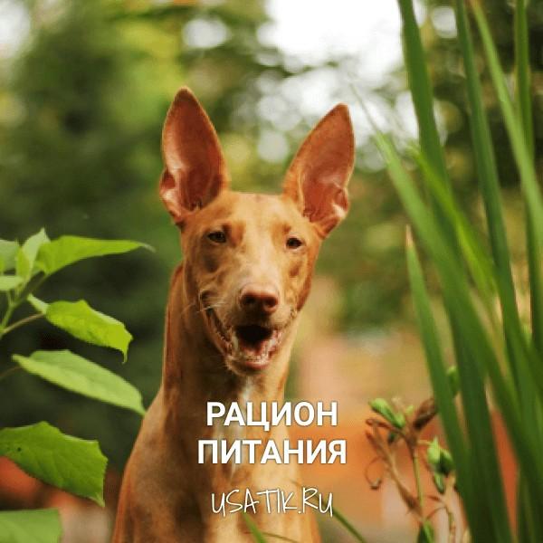 Рацион питания фараоновых собак
