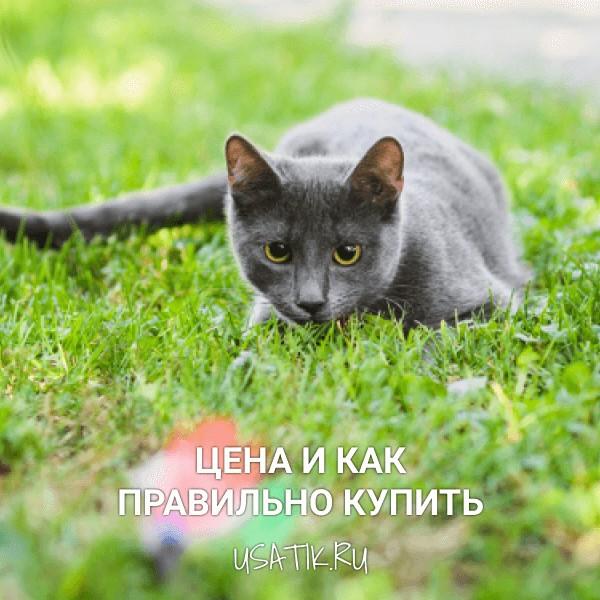 Русская голубая кошка - цена и как правильно купить