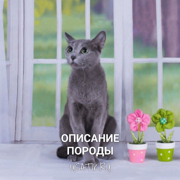 Русская голубая кошка - описание породы