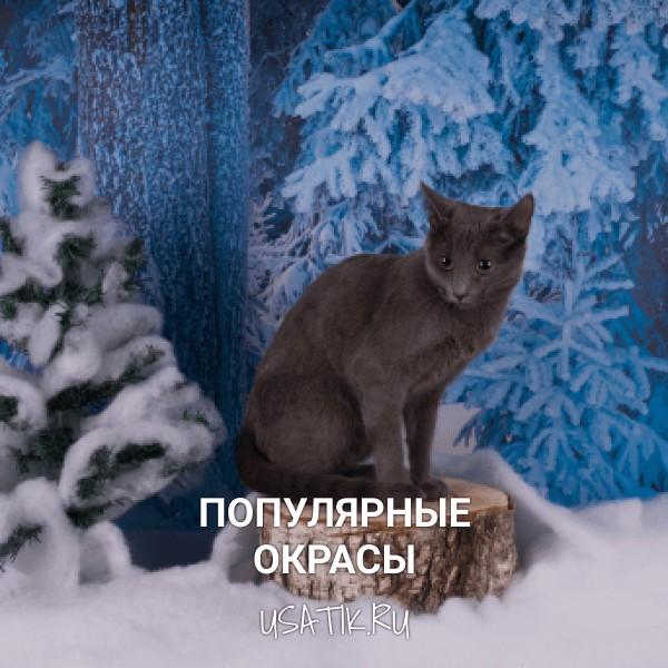 Популярные окрасы русских голубых кошек