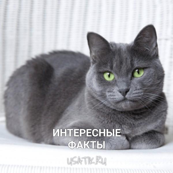 Интересные факты о русских голубых кошках