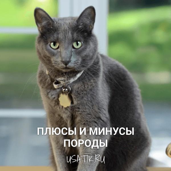 Плюсы и минусы русских голубых кошек