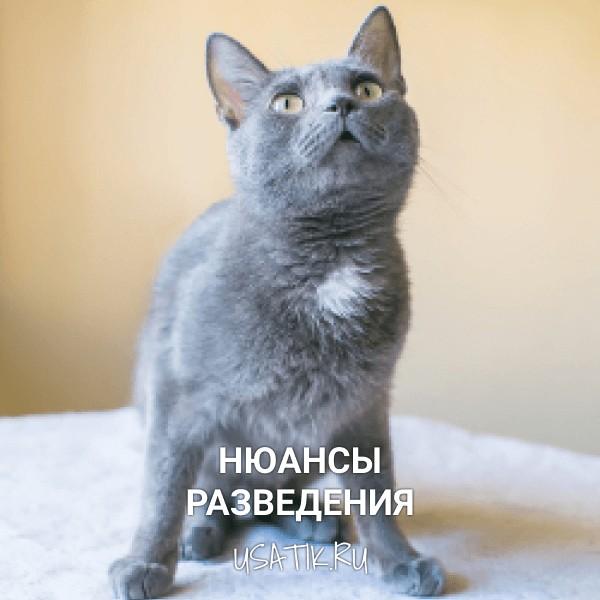 Разведение русских голубых кошек