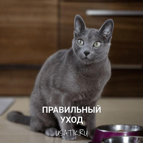 Уход за русскими голубыми кошками